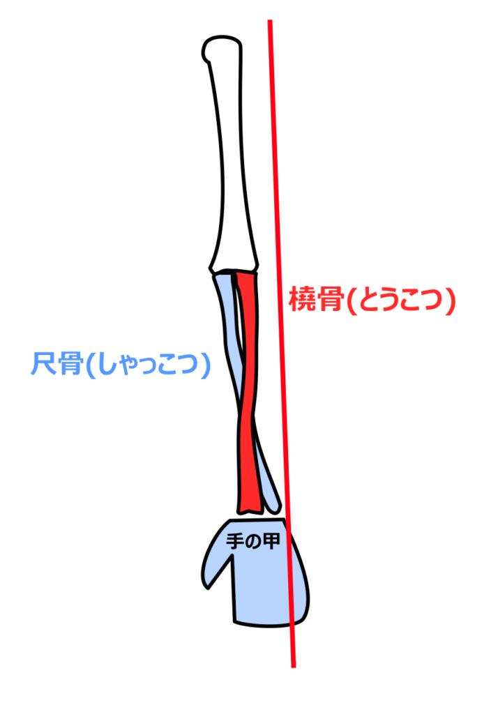手の甲を前に向けているときは2本の骨が交差する
